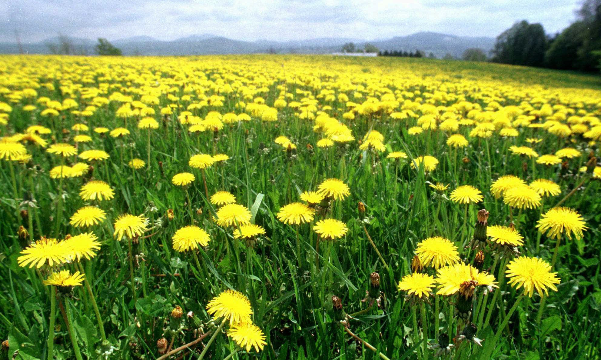 Wild Edible Plants: Cure Cancer, Depression, And High Blood Pressure (Video). Dandelions
