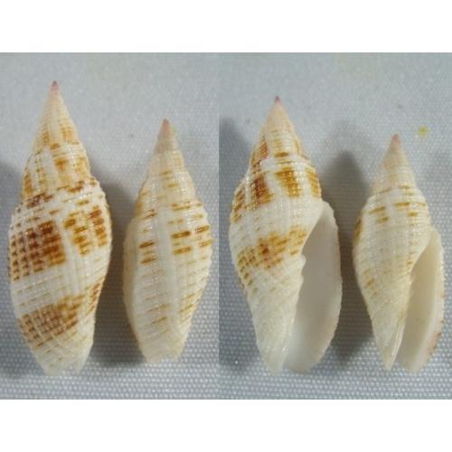 Mitridae - Cancilla granatina  ou pas ? de Maurice 95b-500x500