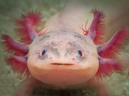 Двадцатка самых необычных животных Aksolotl