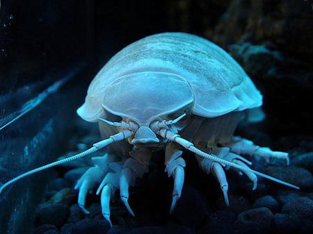 Двадцатка самых необычных животных Isopod