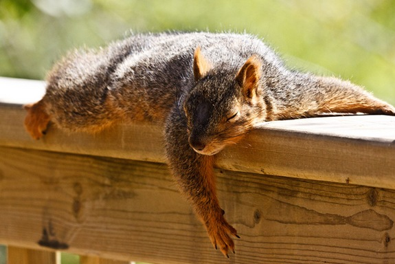 Spánok - spíte dobre? - Stránka 20 Sleepingsquirrel