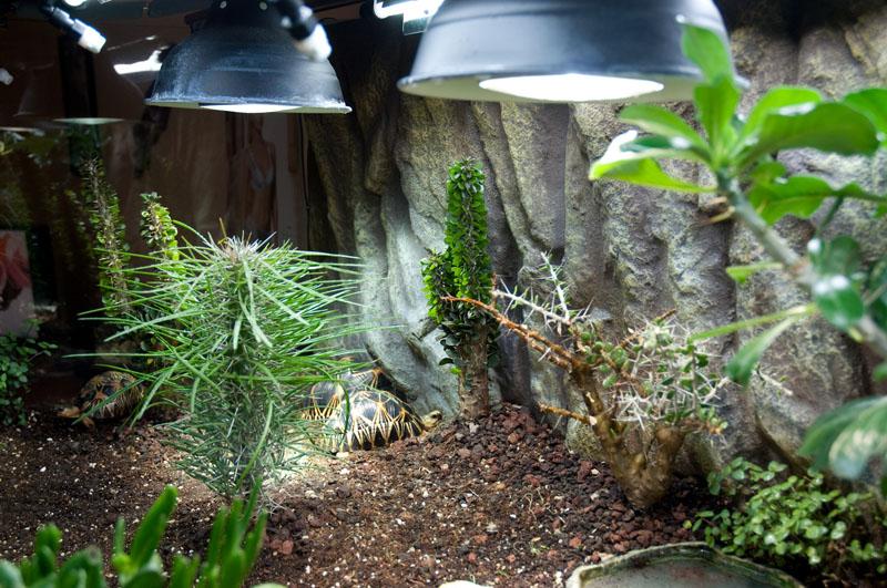 Exemple Terrarium Astrochelys Radiata V2 012