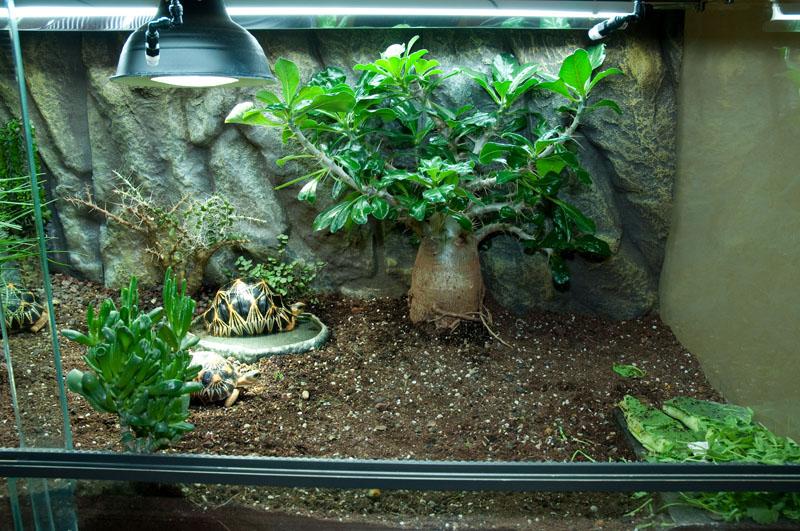Exemple Terrarium Astrochelys Radiata V2 013
