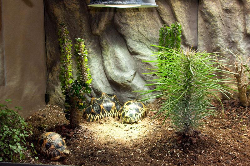 Exemple Terrarium Astrochelys Radiata V2 014