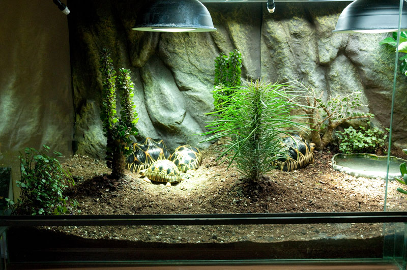 Exemple Terrarium Astrochelys Radiata V2 016
