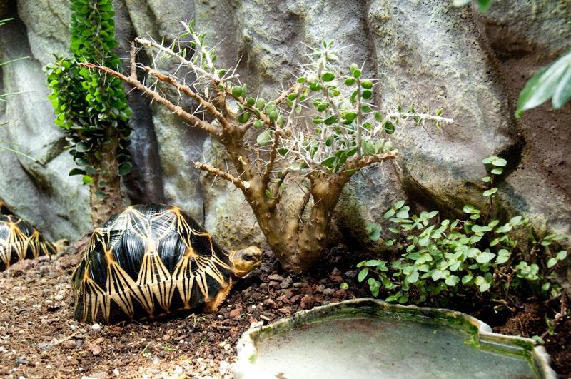 Exemple Terrarium Astrochelys Radiata V2 018