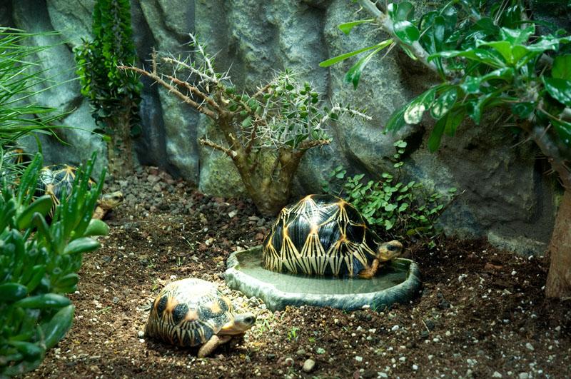 Exemple Terrarium Astrochelys Radiata V2 019