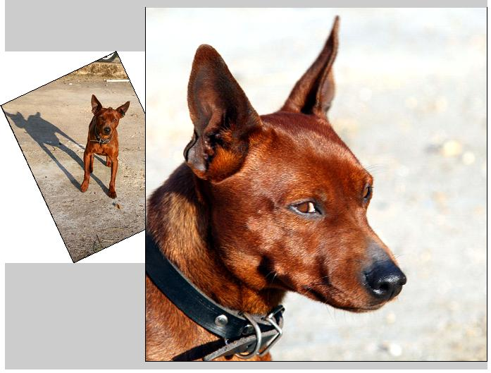 NORMAN, 2 ans, Male, Pincher ADOPTE Norman.site