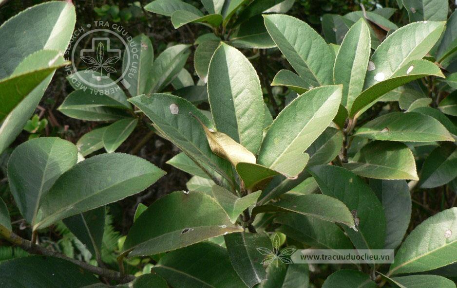 TÌNH YÊU CÂY CỎ  - Page 21 17-altingia-chinensis-champ-ex-benth-oliv