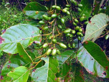 Lục Bát Hoa ĐV - Page 43 Litsea20lancifolia20roxb-20ex20nees20hook-f