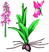 Лечебные свойства орхидей YAtrywnik_mujskoi