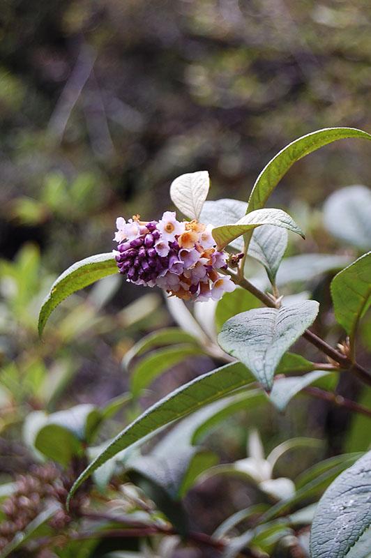 Buddléia ou arbres à papillons 13-138