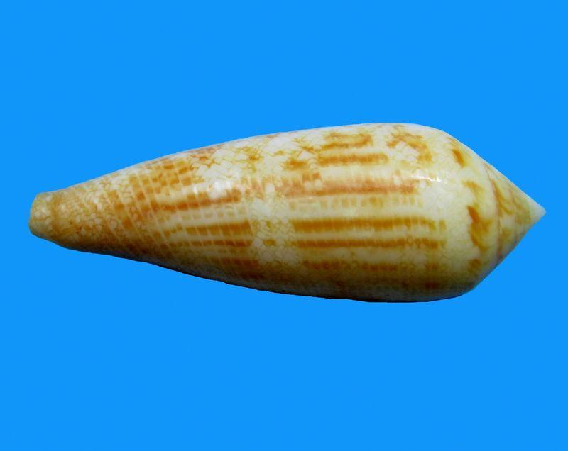 Conus (Cylinder) aureus   Hwass in Brugière, 1792 C_aureus24