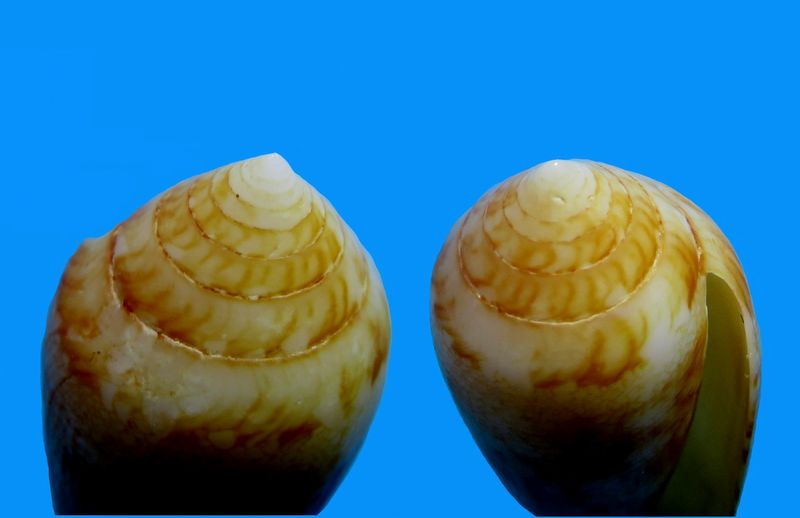 Conus (Cylinder) aureus   Hwass in Brugière, 1792 C_aureus25