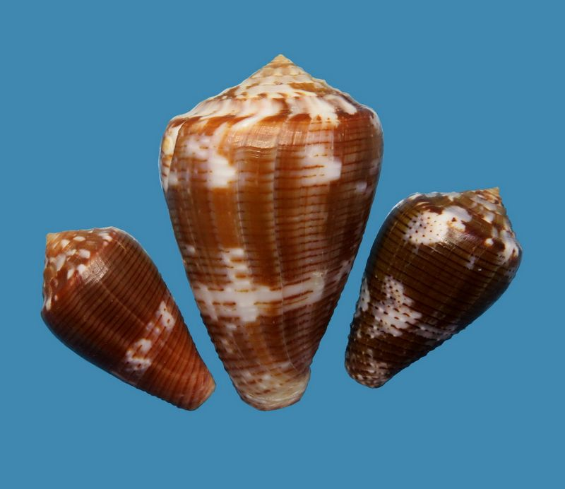 Conus (Pionoconus) easoni   (Petuch & Berschauer, 2018) - Page 2 C_easoni20