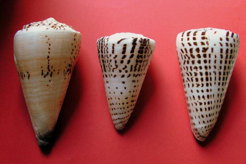 Conus litteratus de Wallis C_littwall10