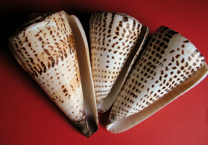 Conus litteratus de Wallis C_littwall11