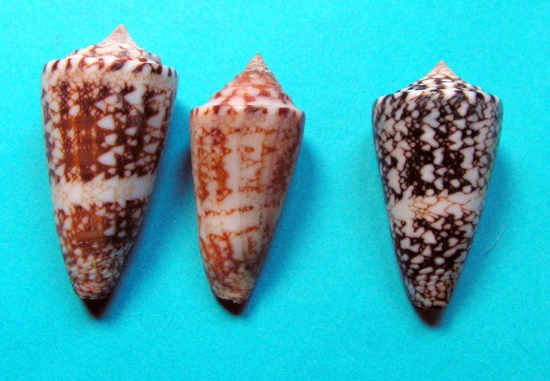 Conus (Leptoconus) amadis   Gmelin, 1791 - Page 2 C_locum20