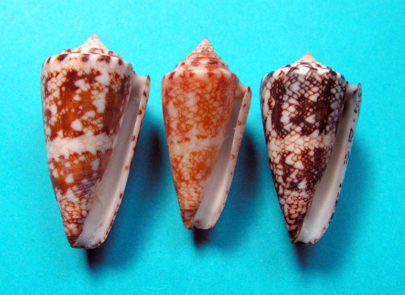 Conus (Leptoconus) locumtenens - Blumenbach, 1791 C_locum21