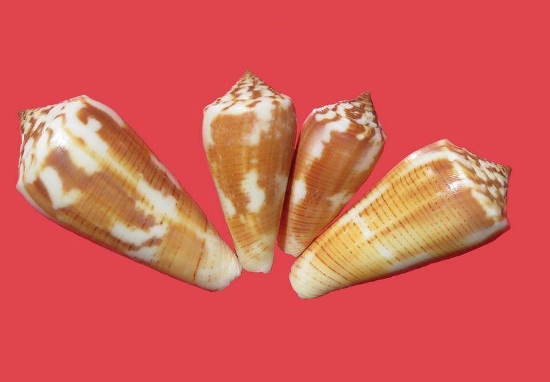 Conus (Pionoconus) circae (Sowerby ll, 1858) voir Conus (Pionoconus) magus - Page 3 C_magucirc24