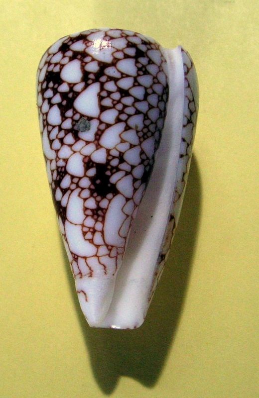 Conus (Darioconus) episcopus forme de Rodrigues C_pennrodr13
