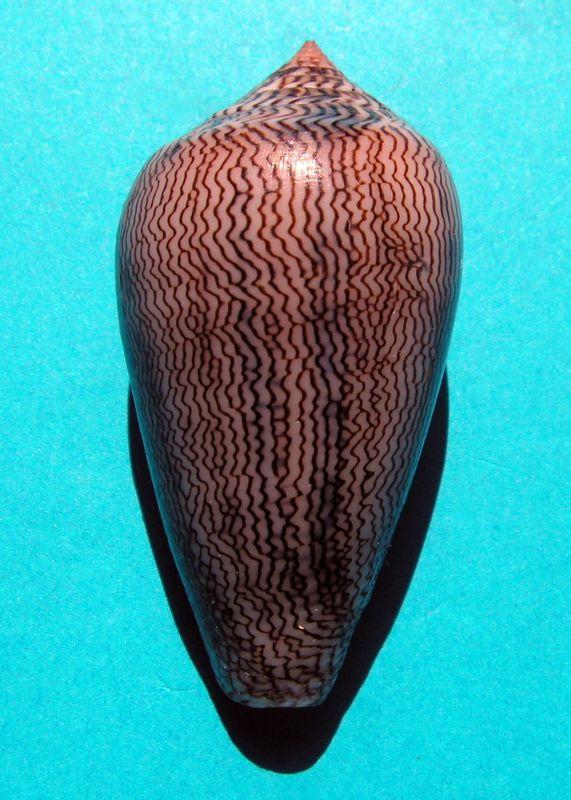Conus (Cylinder) textile cholmondeleyi  Melvill, 1900 voir Conus (Cylinder) textile Linnaeus, 1758 C_texchol16