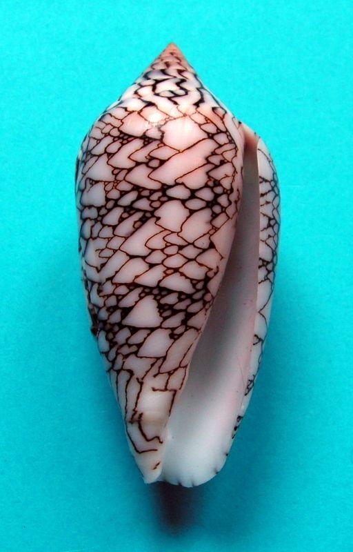 Conus (Cylinder) archiepiscopus scriptus  Sowerby II, 1858 C_textscr20
