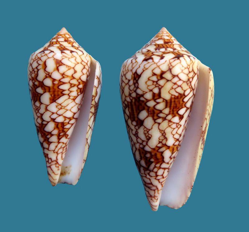 Conus (Cylinder) neovicarius   da Motta, 1982 - Page 2 C_textdjib11
