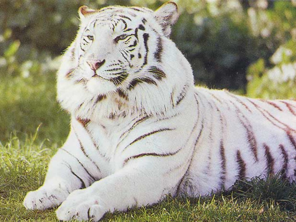 Votre animal préferé Tigre_blanc