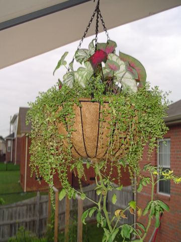 Building the garden and first year results. Hangingbasket01small