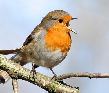 Canta y sé feliz Pajaro-cantando