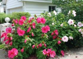 Цветок любви-садовый гибискус 1362150072_gibiskus-sadovyy