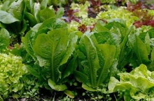 зелень на огороде Salat-300x198