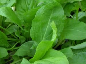 зелень на огороде Sorr-300x225
