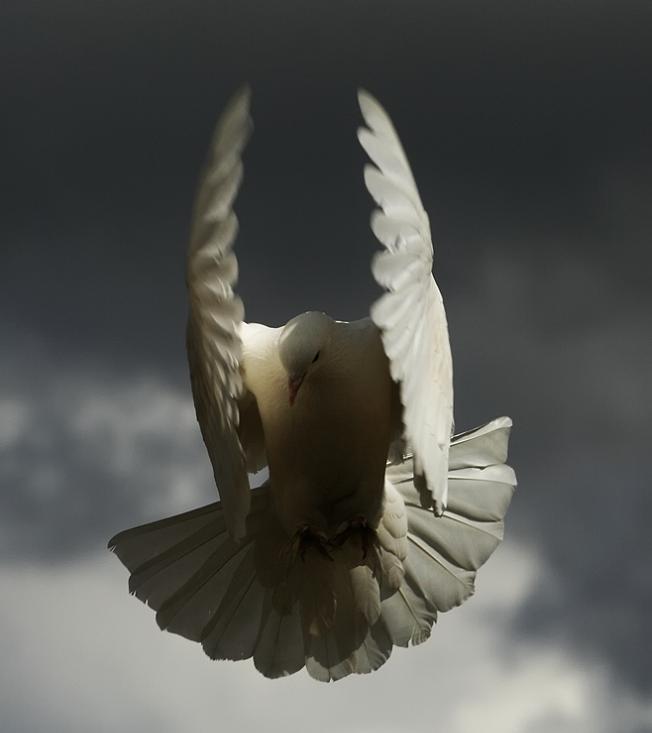 பறவைகளின் திகைப்பூட்டுகிற பறக்கும் காட்சிகள்  Angel-bird