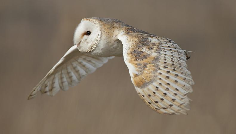 பறவைகளின் திகைப்பூட்டுகிற பறக்கும் காட்சிகள்  Barn-owl-in-flight