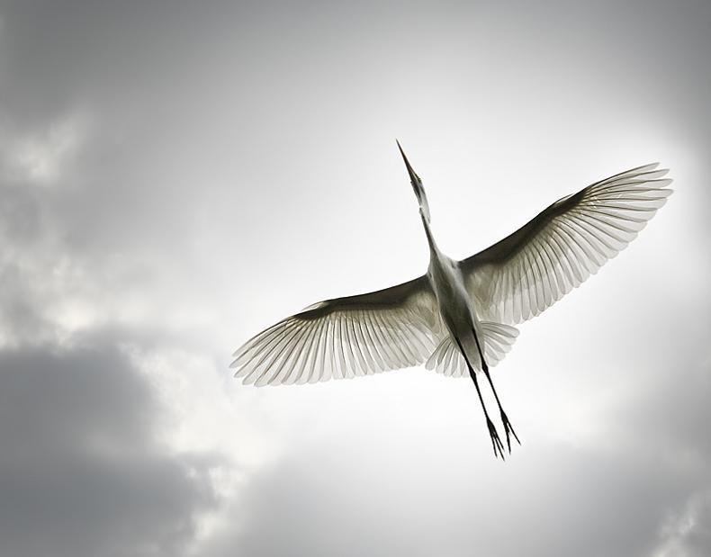 பறவைகளின் திகைப்பூட்டுகிற பறக்கும் காட்சிகள்  Bird-from-below