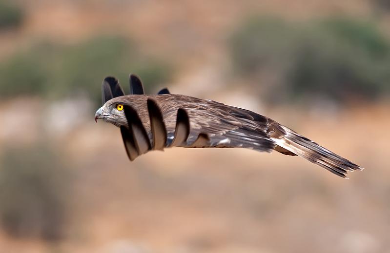 பறவைகளின் திகைப்பூட்டுகிற பறக்கும் காட்சிகள்  Bird-in-mid-flight