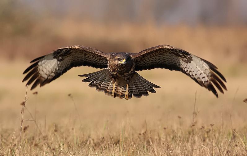 பறவைகளின் திகைப்பூட்டுகிற பறக்கும் காட்சிகள்  Eagle-flying