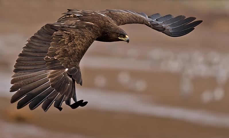 பறவைகளின் திகைப்பூட்டுகிற பறக்கும் காட்சிகள்  Greater-spotted-eagle