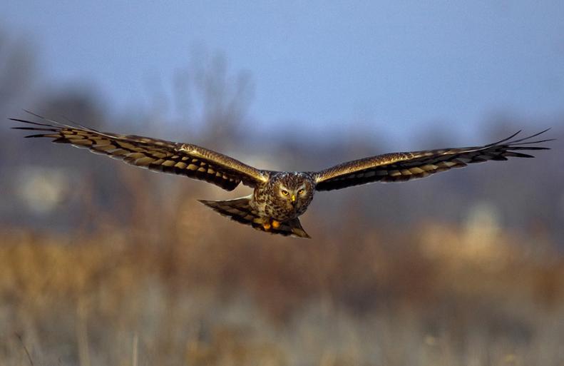 பறவைகளின் திகைப்பூட்டுகிற பறக்கும் காட்சிகள்  Hawk-head-on