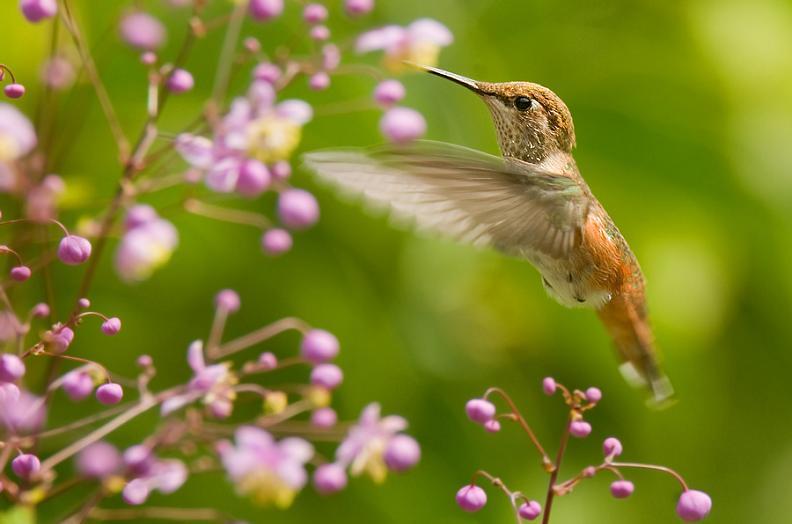 பறவைகளின் திகைப்பூட்டுகிற பறக்கும் காட்சிகள்  Hummingbird-hovering