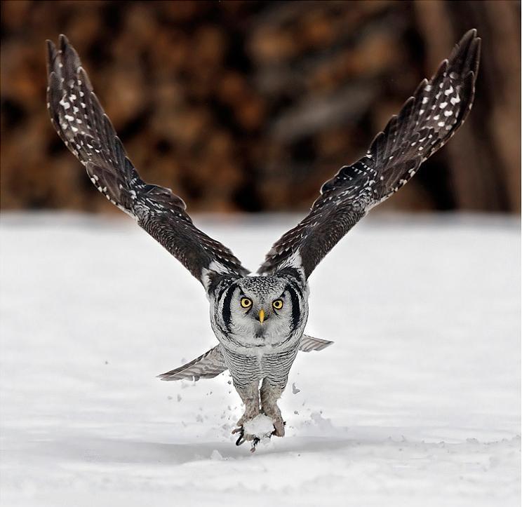 பறவைகளின் திகைப்பூட்டுகிற பறக்கும் காட்சிகள்  Northern-hawk-owl