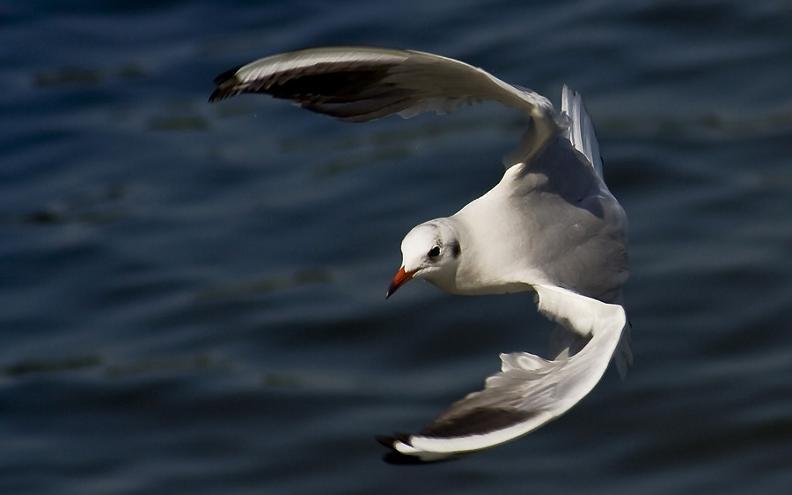 பறவைகளின் திகைப்பூட்டுகிற பறக்கும் காட்சிகள்  Seagull-flying