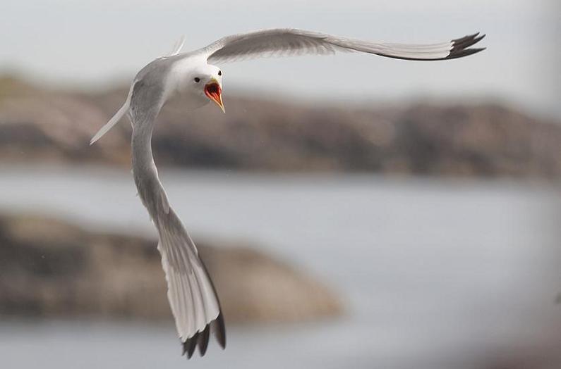 பறவைகளின் திகைப்பூட்டுகிற பறக்கும் காட்சிகள்  Seagull-in-flight
