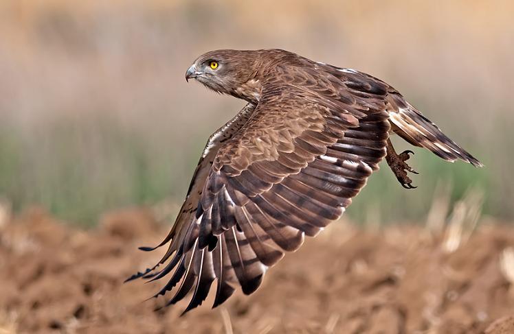 பறவைகளின் திகைப்பூட்டுகிற பறக்கும் காட்சிகள்  Short-toed-eagle-midflight