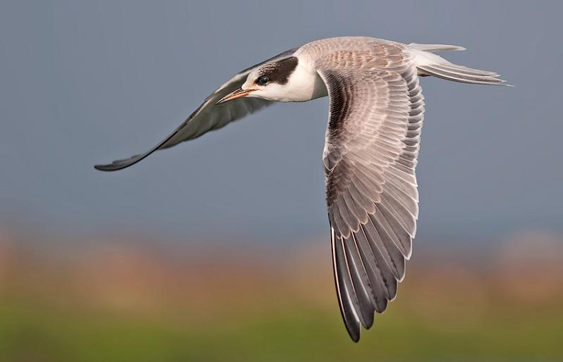 பறவைகளின் திகைப்பூட்டுகிற பறக்கும் காட்சிகள்  Tern-in-flight