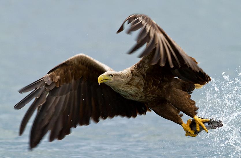 பறவைகளின் திகைப்பூட்டுகிற பறக்கும் காட்சிகள்  White-tailed-eagle-with-prey