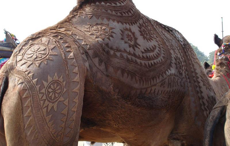 ஒட்டகத்தின் உடம்பில் அழகிய கைவண்ணம்  Camel-hair-trimming-art-1