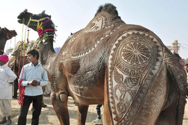 ஒட்டகத்தின் உடம்பில் அழகிய கைவண்ணம்  Camel-hair-trimming-art-2